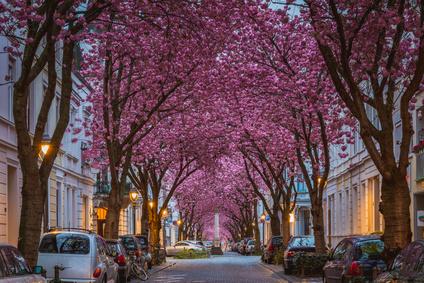 Kirschblüte in der Bonner Altsstadt