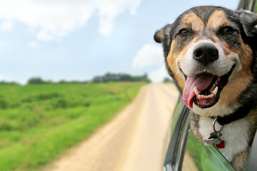 Campen mit Hund, Campingurlaub Hund, VW Bus Hund